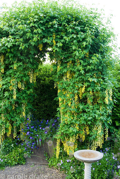 Arch trained with Laburnum waterei 'Vossii' in the front garden. Ivy Croft, Leominster, Herefordshire, UK