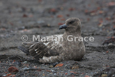 South Polar Skua (Catharacta (Skua) maccormicki) (Stercorarius maccormicki) sitting on the shore at Deception Island, South S...