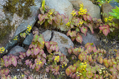 Epimediums growing between rocks along the drive.
