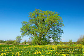 Lime tree and dandelions (lat. tilia) - Europe, Germany, Baden-Württemberg, Tübingen, Ravensburg, Kisslegg, Lautersee - digital