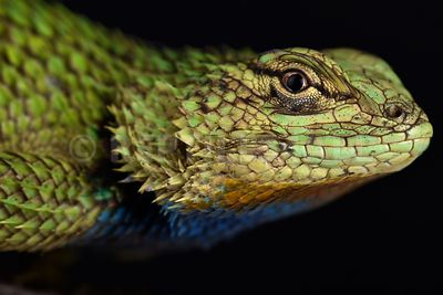Emerald spiny lizard  (Sceloporus malachiticus)
