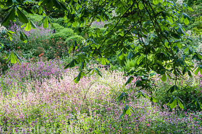 A sea of red campion, Silene dioica, spreads below a mature horse chestnut tree in the dell garden.