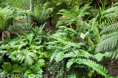 Tree fern dell, Dicksonia antarctica, underplanted with ferns and rodgersias. Coleton Fishacre, Kingswear, Devon, UK