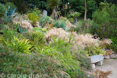 Stipa tenuissima washes in and out of planting on a sunny bank including Leucadendron 'Safari Sunset', Agapanthus inapertus, ...