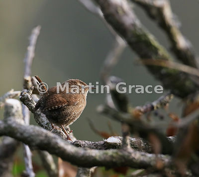 Eurasian (Winter) Wren (Troglodytes troglodytes) standing in cut-back Ivy (Hedera helix), Lake District National Park, Cumbri...