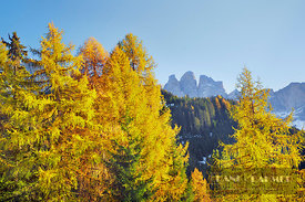 Larch forest and Gruppo delle Odle in autumn (lat. larix decidua) - Europe, Italy, Trentino-Alto Adige, South Tyrol, Puez-Gei...