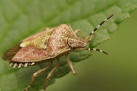 Closeup of the hairy shieldbug ,  Dolycoris baccarum
