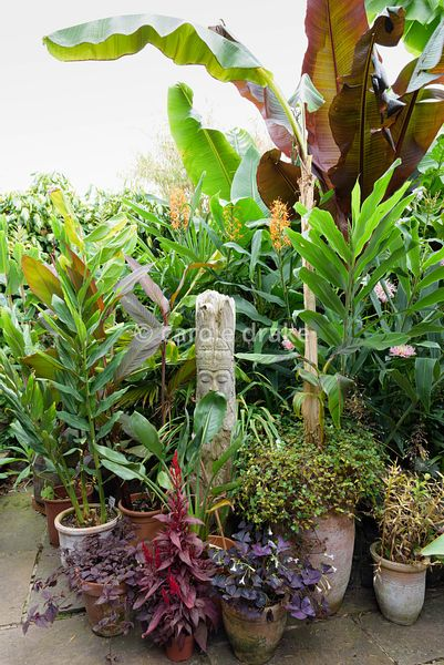 Large foliage plants including Musa basjoo, Ensete ventricosum 'Maurelii and trachycarpus mixed with exotic flowering plants ...