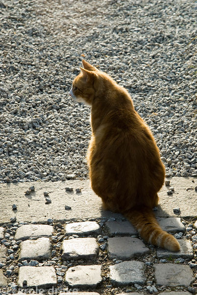 Resident ginger cat. Ednovean Farm, Marazion, Cornwall, UK