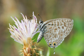 Lang's short tailed blue - Leptotes pirithous
