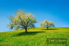 Cherry plantation in bloom (lat. prunus) - Europe, Switzerland, Aargau, Brugg, Effingen - digital - Getty image 520722442
