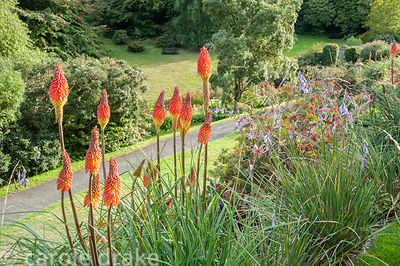 Terraces in front of the house are planted with red hot pokers alternating with dieramas, angels' fishing rods. Coleton Fisha...
