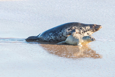 Grey seals: mother and baby (cow and pup) playing in the surf