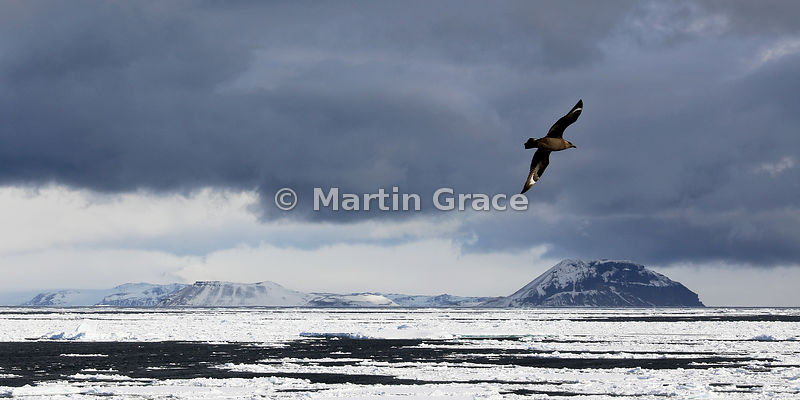 Weddell Sea landscape with sea ice, land, cloud and South Polar Skua (Catharacta (Skua) maccormicki) (Stercorarius maccormick...