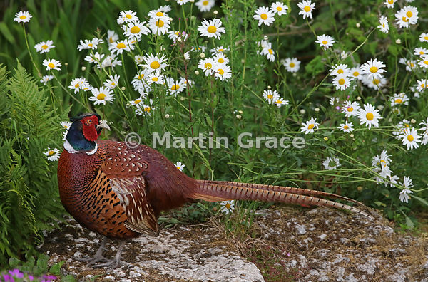 Common Pheasant male (Phasianus colchicus) with Oxeye Daisies (Leucanthemum vulgare), Lake District National Park, Cumbria, E...