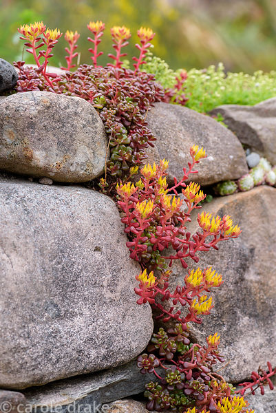 Sedum in a dry stone wall at 2 Durnamuck, Little Loch Broom, Wester Ross in July