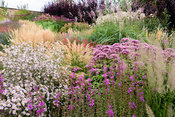 Combination of grasses and herbaceous perennials including Eupatorium maculatum (Atropurpureum Group) 'Purple Bush', Lythrum ...