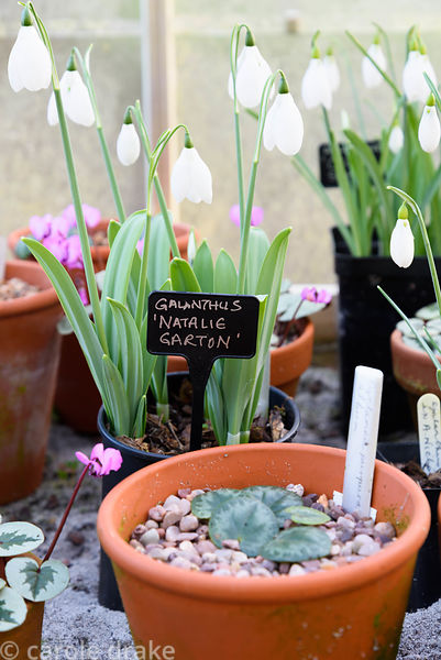 Pots of cyclamen and snowdrops in a greenhouse at Higher Cherubeer, Devon
