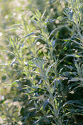 Artemisia. The Yeo Valley Organic Garden, Blagdon, Somerset