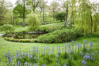 Camassias with a circular pool beyond fringed with willows and a pair of Ulmus glabra 'Camperdownii'.
