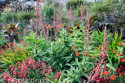 Hot border below the house bursting with colour, includes crocosmias, dahlias, Lobelia tupa, penstemons, antirrhinums, dark l...