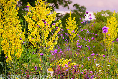 Verbena bonariensis and Verbascum olympicum at The Yeo Valley Organic Garden, Blagdon, Somerset in June