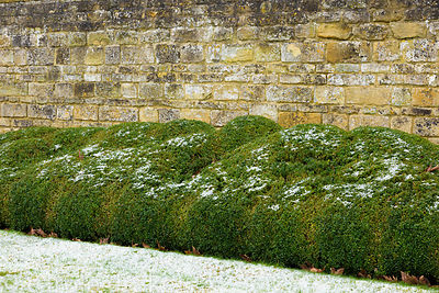 An undulating border of box in the garden at Bourton House in the Cotswolds in January