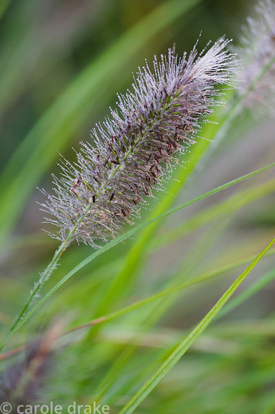 Pennisetum alopecuroides 'Red Head'