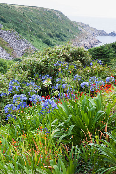 Agapanthus and crocosmia mingle on garden slopes above bamboo with Lamorna Cove and sea beyond