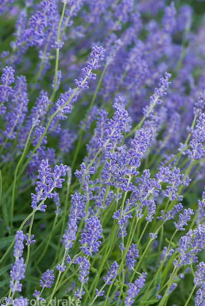 Lavender. Private garden, Dorset, UK