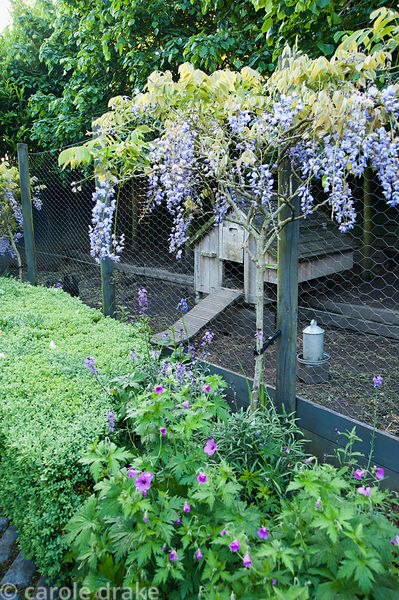Standard wisterias underplanted with hardy geraniums and box beside the chicken run. Tony Ridler's garden, Swansea, Wales, UK