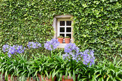 Pots of agapanthus in front of a wall covered with tightly clipped ivy framing a small window at Broadwoodside, Gifford, East...