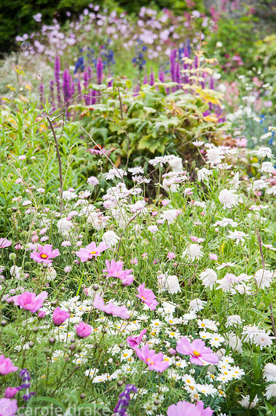 Cosmos and argyranthemum in the Rill Garden. Coleton Fishacre, Kingswear, Devon, UK