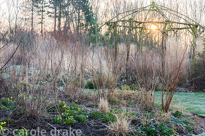 Rustic gazebo surrounded by grasses and conifers with small early daffodils at Ellicar Gardens, Notts in winter