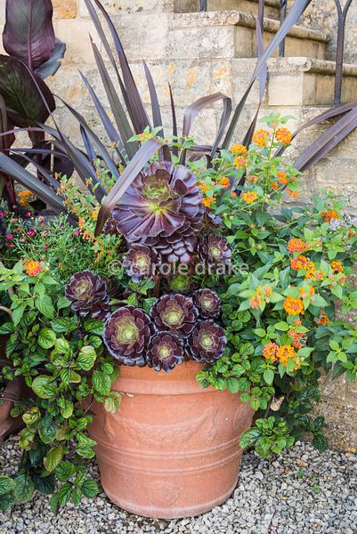 Containers featuring Aeonium 'Zwartkop', Lantana camara, plectranthus and purple phormium at Bourton House, Moreton-in-Marsh ...