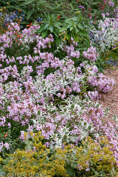 Pink Saponaria x lempergii 'Max Frei' with silvery Eryngium giganteum 'Silver Ghost', Alchemilla mollis and scarlet flowered ...