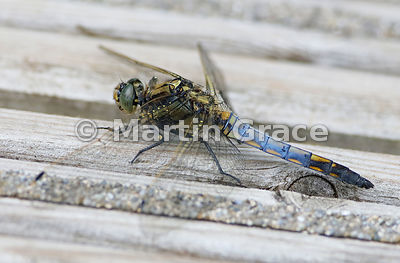 Black-Tailed Skimmer dragonfly male (Orthetrum cancellatum), Leighton Moss, Lancashire, England