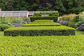 Clipped Box topiary - Buxus sempervirens - and Beech hedges - Fagus sylvatica - in the Spring and Summer Box Borders at Scamp...