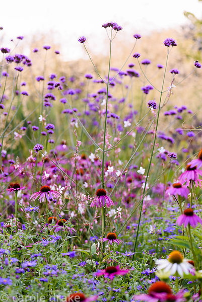 Echinacea purpurea 'Rubinglow' amongst Verbena bonariensis, Aster × frikartii 'Mönch' and white gaura at Farlands, Tenbury We...