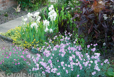 Front garden planting includes prostrate hypericum, white Iris 'White Knight', dark Persicaria microcephala 'Red Dragon' and ...