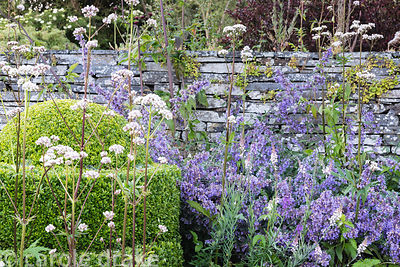 Clipped box surrounded by Valeriana officinalis, Nepeta 'Six Hills Giant' and Linaria purpurea 'Canon Went' at Sea View, Corn...