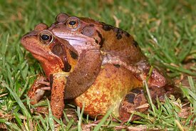 Rana temporaria - Common brown frog