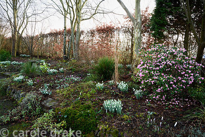 Bank planted with snowdrops, Cyclamen coum and a pink flowered rhododendron at Higher Cherubeer, Devon