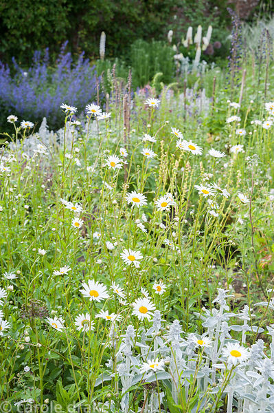 Beds packed with grey Stachys byzantina, hardy geraniums and oxeye daisies. Littlebredy Walled Gardens, Littlebredy, Dorset