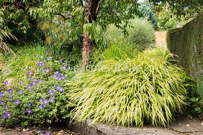 Hakonechloa macra 'Aureola' and Geranium Rozanne = 'Gerwat' at the base of Prunus serrula at Barn House, Gloucestershire in S...