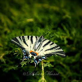 Machaon Ennery Val d'Oise 08/19
