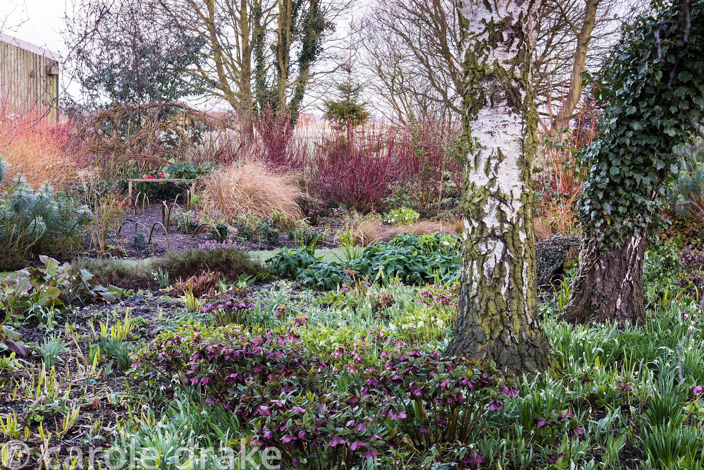 Winter garden with bed full of Helleborus orientalis hybrids and snowdrops with border behind planted with Cornus alba 'Sibir...