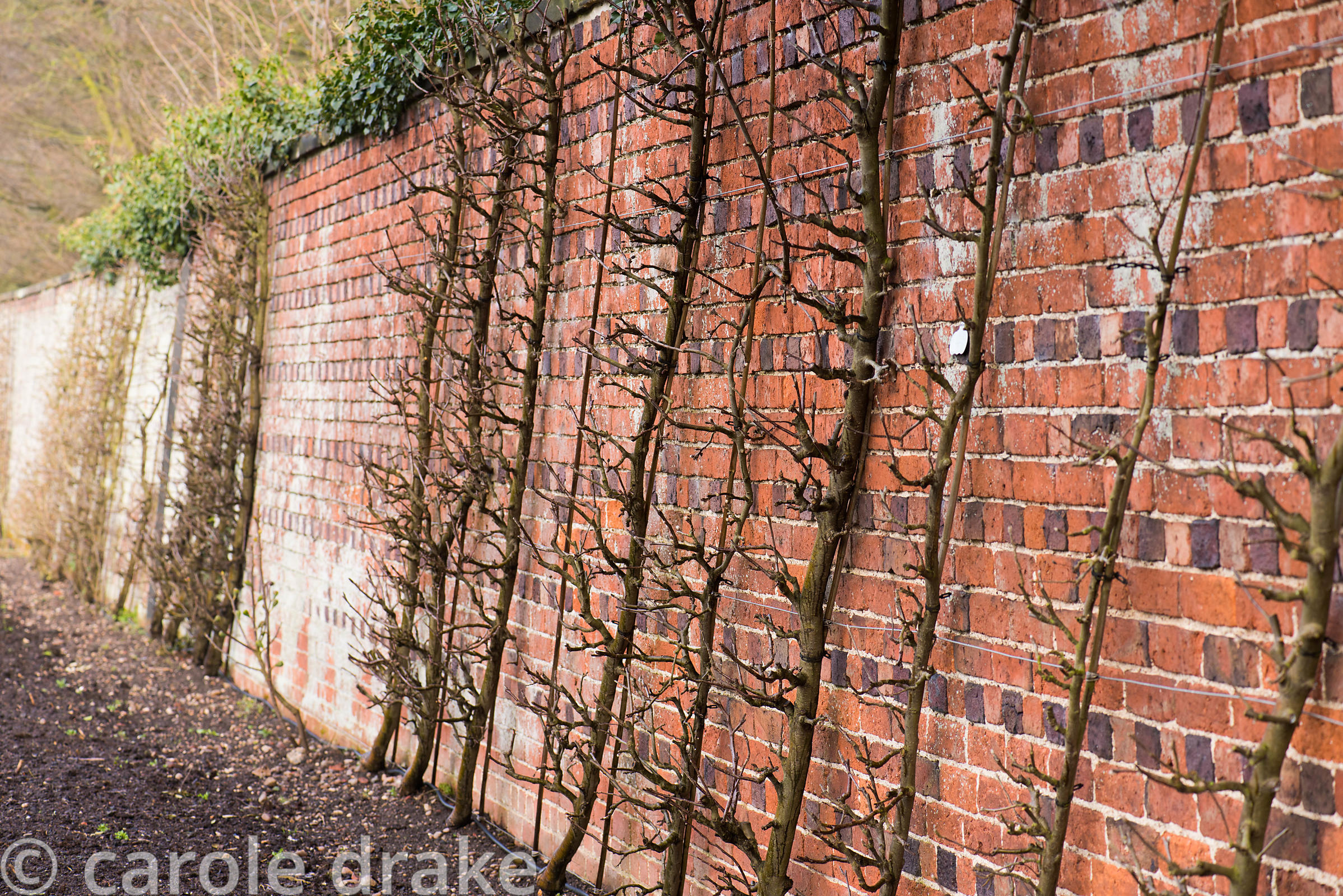 Trained fruit on the walls of the Kitchen Garden at Doddington Hall, Lincolnshire in March