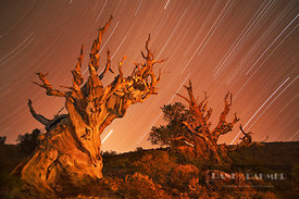 Great Basin bristlecone pine and star trails in the White Mountains (lat. pinus longaeva) - North America, USA, California, I...