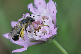 Halictus species